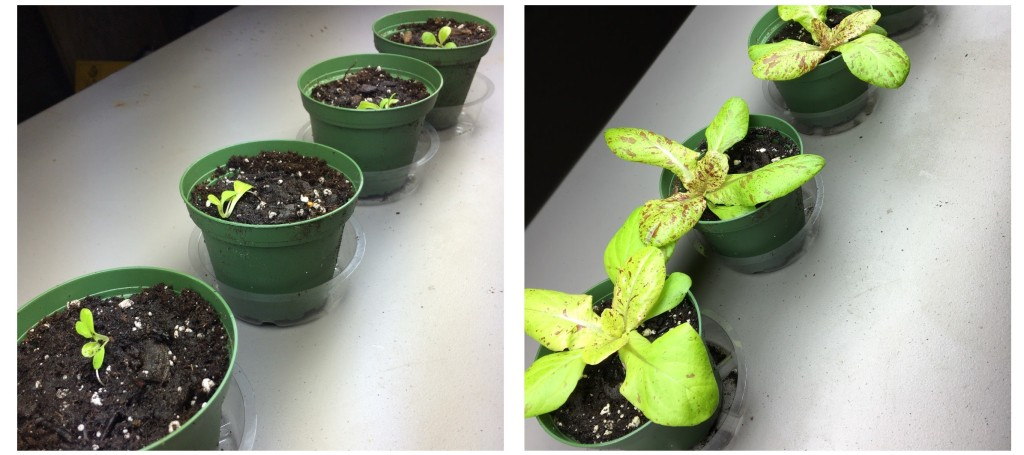 Romaine Freckles day 1 and 20