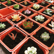 succulent cuttings potted