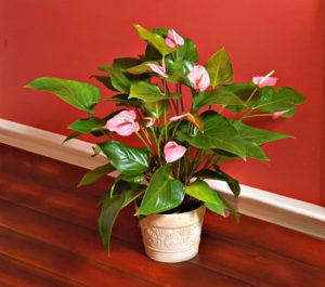 White flower farm pink anthurium