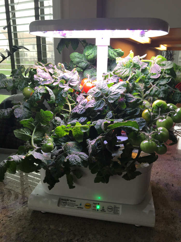 My AeroGarden on day 81. Getting ripe.